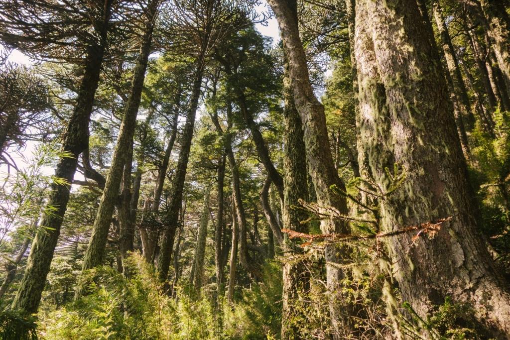 drzewo araukaria chile
